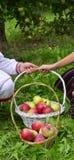 Девушка и мальчик держа свежие сжатые яблока в корзине Стоковые Изображения