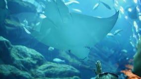 Девушка и мальчик смотря белый Manta хвостоколового в подводном моле Дубай аквариума сток-видео
