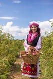 Девушка комплектуя болгарские розовые розы в саде стоковая фотография rf