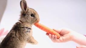 Девушка кормит морковь кролика видеоматериал