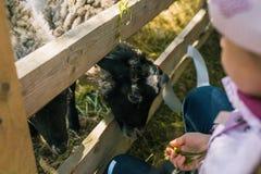 Девушка кормит овец с травой В руках удержания пука зеленой травы Корм для домашних животных Овцы на ферме за деревянным стоковые изображения rf