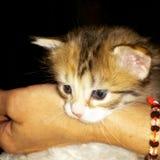 Девушка котенка Tricolored Стоковое Изображение