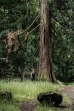 Девушка немецкого национального парка пешая на следе около огромного старого мамонтового дерева стоковое фото