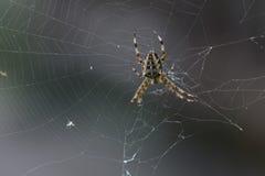 Девушка паука Стоковое Изображение