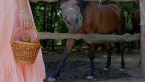 Девушка стоит с плетеной корзиной с яблоками на предпосылке лошадей в ручке Лошадь бьет копыто, спрашивая кормиться wi видеоматериал