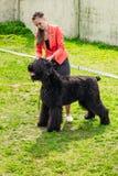Девушка с собакой породы собаки Risenschnauzer черноты Gomel, Беларусь Стоковые Изображения RF