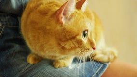 Девушка штрихуя устрашенного красного кота который сидит на ее подоле акции видеоматериалы