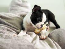 Девушка щенка терьера Бостона с ее косточкой закуски стоковые фото