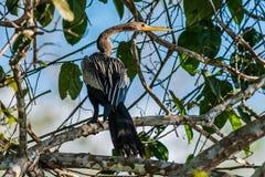 Дежурный американской змеешейки на ветви в перуанской Амазонке Стоковое Изображение RF