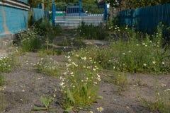 Дезертированный перерастанный с маргаритками и двором травы в сельской местности с голубой загородкой и воротами стоковые фото