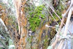 Дезертированный сад Дерево покрытое с зеленым мхом текстура Природа Необыкновенное дерево Расшива дерева повреждена мхом L Стоковое Фото
