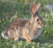 Дезертируйте audubonii Sylvilagus кролика Cottontail в луге Стоковое Изображение RF