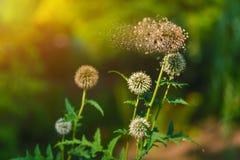 Дезинтегрируя цветок на зеленой предпосылке Стоковые Фото