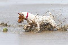 Действие быстрого хода собаки стоковое фото rf