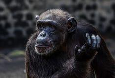 действие шимпанзе Стоковая Фотография RF