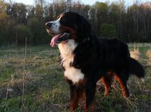 Действительно красивая собака горы Bernese Большая собака - собака горы Bernese! Стоковая Фотография