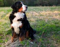 Действительно красивая собака горы Bernese Большая собака - собака горы Bernese! Стоковые Фотографии RF