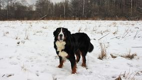 Действительно красивая собака горы Bernese Стоковое Изображение