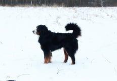 Действительно красивая собака горы Bernese Стоковая Фотография RF