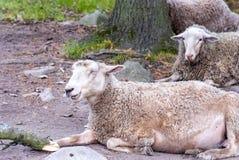 Действительно смешные lauphing овцы стоковые фотографии rf
