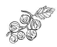 Декоративная ветвь ягод смородины с разрешением Стоковые Изображения