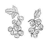 Декоративная ветвь ягод смородины с разрешением Стоковые Фото