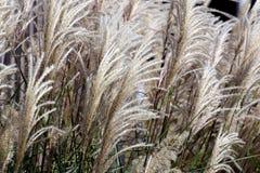Декоративная длинняя трава Стоковые Фотографии RF
