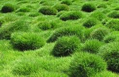 Декоративная зеленая трава, tenuifolia Zoysia Стоковое Изображение RF