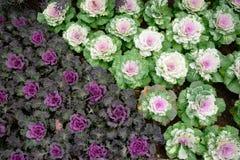 Декоративная капуста в саде Стоковая Фотография RF