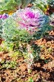Декоративная капуста, капуста белокочанная стоковое изображение