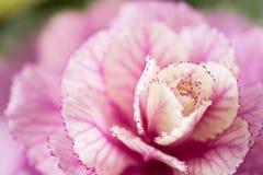 Декоративная капуста сирени Необыкновенный смешной цветок капусты белокочанной Цветки букета роз в стеклянной вазе шик затрапезны Стоковые Изображения