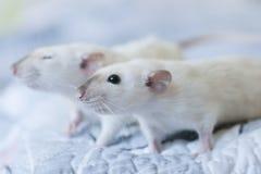 Декоративная сиамская крыса в руках женщины стоковое фото