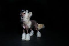 Декоративная собачка на выставке Стоковые Изображения RF