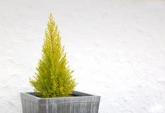 Декоративное дерево leylandii в квадратном ушате Стоковые Изображения