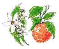 Декоративное оранжевое цветение цветка Стоковая Фотография
