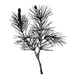Декоративной ветвь сосны силуэта нарисованная рукой Стоковое Изображение