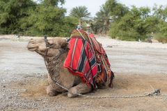 Декоративно украшенный верблюд с посетителями одеяла отдыхая лежа ждать стоковое изображение rf