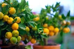 Декоративные деревья tangerine в баках для продажи Стоковые Фотографии RF