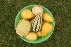Декоративные желтые тыквы собрали от куста в салатовой корзине для продвигающийся транспорта Стоковое Изображение RF