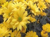 Декоративные заводы Солнцецветы все еще свежи сток-видео