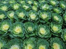 Декоративные капуста или листовая капуста Стоковое Изображение RF