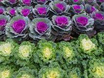 Декоративные капуста или листовая капуста Стоковое Фото