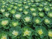 Декоративные капуста или листовая капуста Стоковая Фотография RF