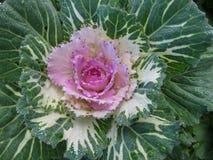 Декоративные капуста или листовая капуста Стоковые Фото