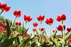Декоративные красные тюльпаны на поле цветка Стоковые Изображения