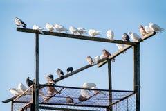Декоративные отечественные голуби в dovecote стоковые фото