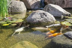 Декоративные рыбы в пруде Стоковое фото RF