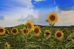 Декоративные солнцецветы в поле с красивыми облаками и голубым небом стоковые изображения