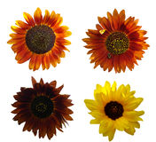 декоративные солнцецветы Стоковые Фото