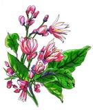 Декоративные тропические цветки цитруса лимона в цветении Стоковые Фотографии RF